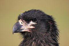 Striated Caracara, phalcoboenus australis, Falkland Islands Royalty Free Stock Images