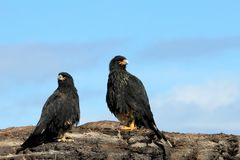 Striated Caracara, phalcoboenus australis, Falkland Islands Royalty Free Stock Photography