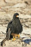 Striated Caracara, phalcoboenus australis, Falkland Islands Stock Images