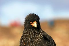Striated Caracara, phalcoboenus australis, Falkland Islands Stock Photo