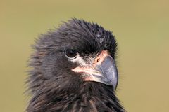 Striated Caracara, phalcoboenus australis, Falkland Islands Stock Photography