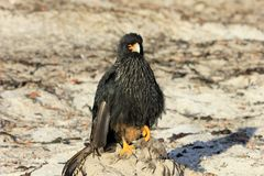 Striated Caracara, phalcoboenus australis, Falkland Islands Royalty Free Stock Photo