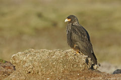 Striated caracara, Phalcoboenus australis Stock Images