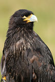 Striated caracara Royalty Free Stock Photography