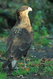 Striated caracara Royalty Free Stock Photos