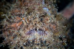 Striated Frogfish in Lembeh Strait stock image