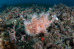 Striated Frogfish Royalty Free Stock Photo