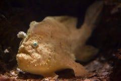 Striated frogfish (Antennarius striatus). Royalty Free Stock Image