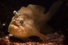 Striated frogfish (Antennarius striatus). Stock Image