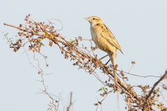 Striated Grassbird Royalty Free Stock Photography
