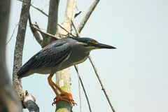 Free Striated Heron Stock Photo - 14202430
