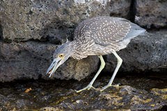 Striated heron Stock Photography