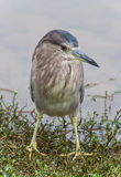 Striated heron Royalty Free Stock Image