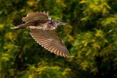 striated heron Arkivfoto