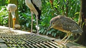 Striated Heron bird stock footage