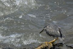 Striated heron (Butorides striata) Royalty Free Stock Photography