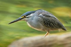 Striated Heron - Butorides striata also mangrove heron, little heron or green-backed heron, mostly non-migratory, breeding in the stock images