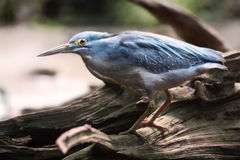 Striated heron (Butorides striata) Stock Images