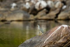 Striated heron or Butorides striata close up sitting on stone perch with a green water background at bank of chambal river stock photos