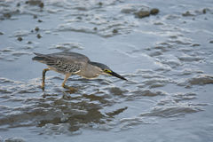 Striated heron Butorides striata feeding on mud at low tide. Amazing nature in George Town by Jason Crook. Royalty Free Stock Images