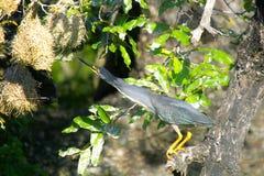 Striated heron (Butorides striata) Stock Photography