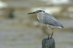 Striated heron Butorides striata with muddy feet in Penang Island, Malaysia. Beautiful nature in George Town by Jason Crook. Stock Photo