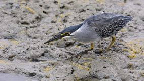 Striated heron Butorides striata walking in soft mud with yellow goo. Amazing nature in George Town by Jason Crook. Stock Image