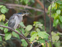 A Striated Heron in dense vegetation Stock Photos