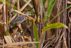 Striated Heron with fish Royalty Free Stock Image