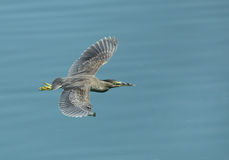 Striated Heron flying Royalty Free Stock Photography