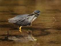 Striated Heron is Looking Back!. This little heron you can also call mangrove heron, little heron or green-backed heron Royalty Free Stock Image