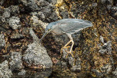 Striated heron looking for food among rocks Stock Photos