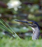 Striated heron or mangrove heron Royalty Free Stock Image