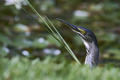 Striated heron or mangrove heron Stock Images