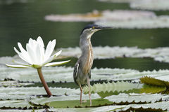 Striated Heron Next to a Water Lily - Panama Stock Photography