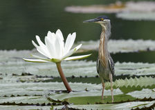 Striated Heron Next to a Water Lily - Panama Royalty Free Stock Photo