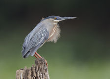 Striated Heron Perched on a Stump - Panama Stock Images