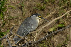 Striated Heron. Perching in the plains of South Africa Royalty Free Stock Image