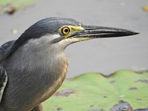 Striated heron Stock Images