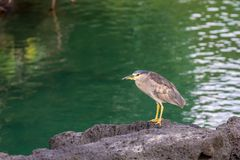 Striated heron sitting on a rock stock photo