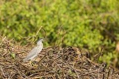Striated Heron Standing on Bramble Stock Photo