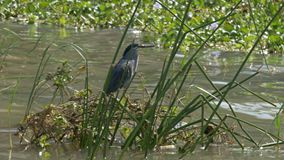 Striated heron standing on reeds at lake baringo
