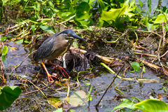 Striated Heron Royalty Free Stock Images
