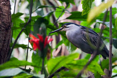 Striated Mangrove Heron Stock Images