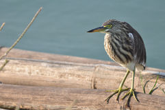 A Striated Mangrove Heron (Butorides Striata) also known as Mang Royalty Free Stock Photography