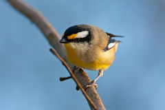 Striated Pardalote Stock Image