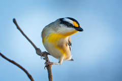 Striated Pardalote Royalty Free Stock Photos
