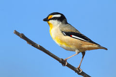 Striated Pardalote Royalty Free Stock Image