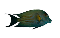 Striated surgeonfish Royalty Free Stock Image