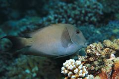 Striated surgeonfish underwater Royalty Free Stock Photography